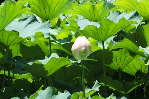lotus 2016