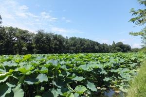 vast lotus field